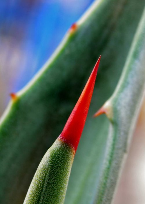 Plant; Thorns; Macro; Green; Garden; Brown; Blue; Pointy; Nature; Black; Sunlight; Dangerous; Blood; Careful; Agave; Succulent; Still Life; Red; Background; Decorative; Greeting Card featuring the photograph Agave Thorn by Werner Lehmann