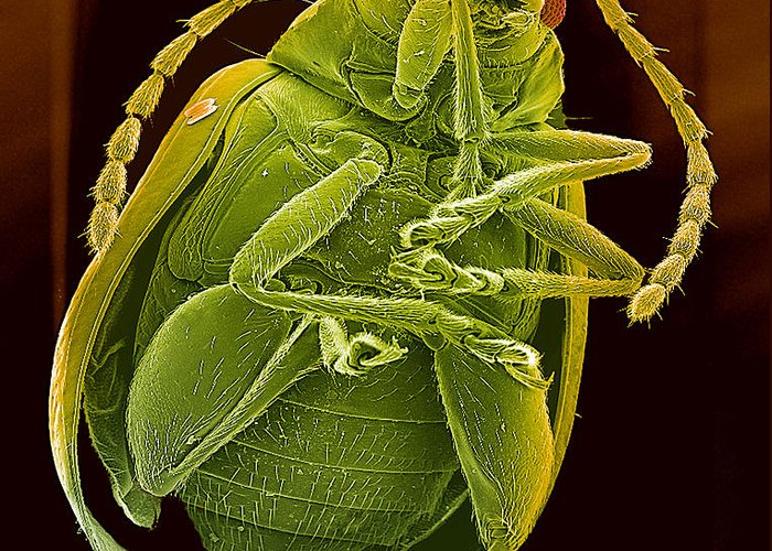 Beetle Greeting Card featuring the photograph Beetle, Sem by Steve Gschmeissner