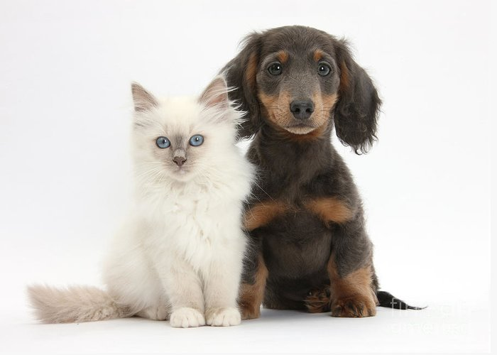 Dog Greeting Card featuring the photograph Blue-point Kitten & Dachshund by Mark Taylor