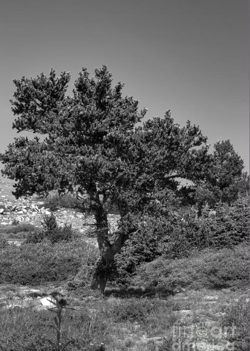 Bristlecone Pine Greeting Card featuring the photograph Bristlecone Pine by David Bearden