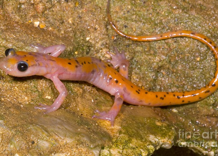 Eurycea Lucifuga Greeting Card featuring the photograph Cave Salamander by Dante Fenolio