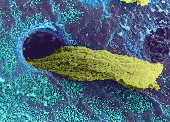 Gland Greeting Card featuring the photograph Coloured Sem Of A Secreting Uterine Gland by Steve Gschmeissner