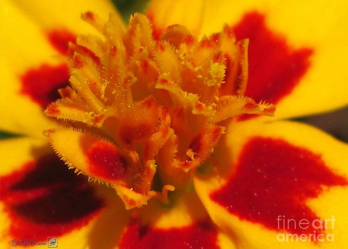 French Marigold Greeting Card featuring the photograph French Marigold Named Starfire by J McCombie