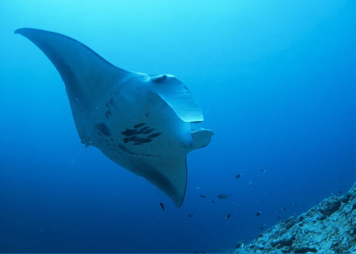 Manta Birostris Greeting Card featuring the photograph Giant Manta by Alexis Rosenfeld