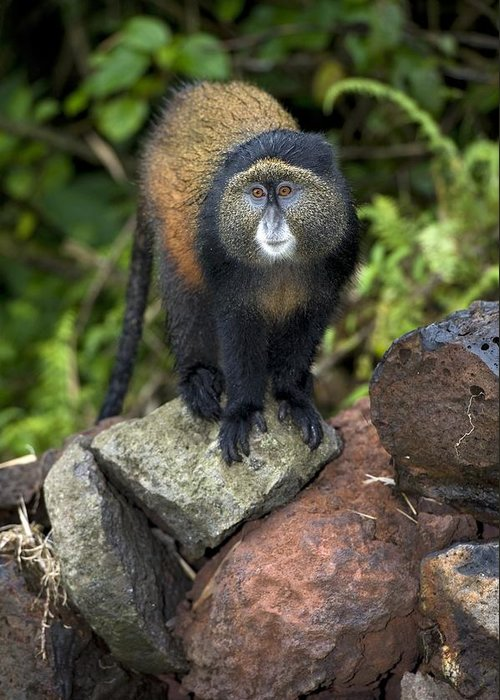 Golden Monkey Greeting Card featuring the photograph Golden Monkey by Tony Camacho