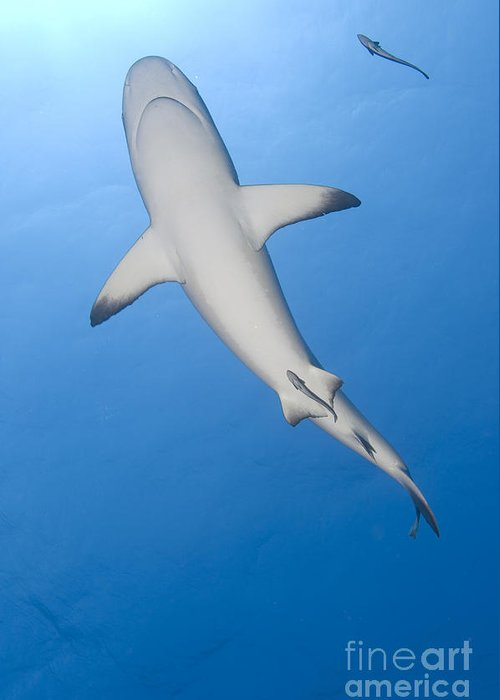 English Reef Greeting Card featuring the photograph Gray Reef Shark With Remora, Papua New by Steve Jones