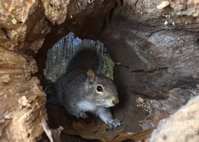 Eastern Gray Squirrel Greeting Card featuring the photograph Gray Squirrel by Ted Kinsman