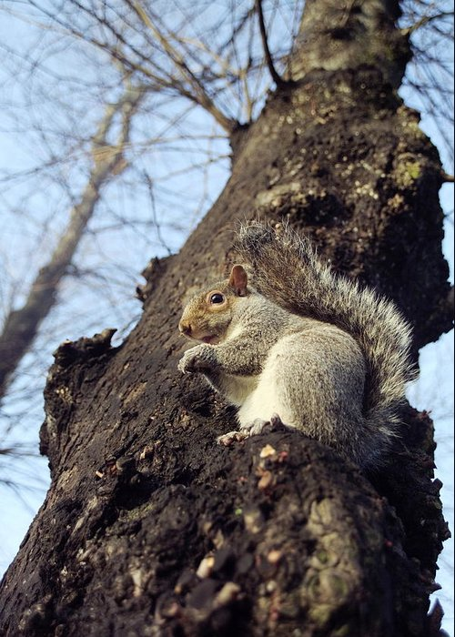 Sciurus Carolinensis Greeting Card featuring the photograph Grey Squirrel by Georgette Douwma