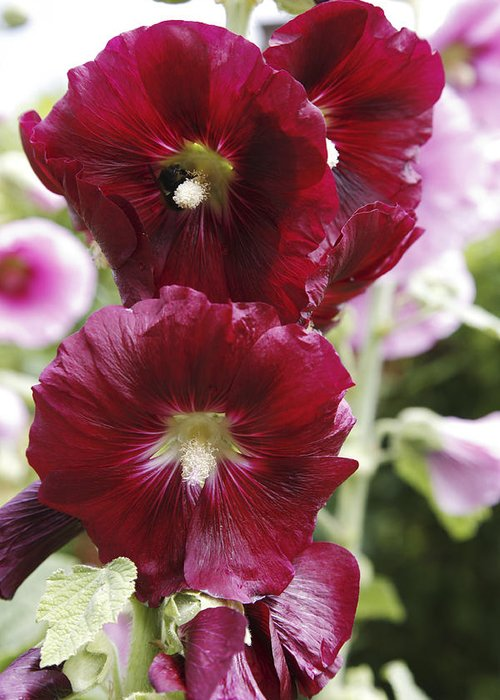 Althea Rosea Greeting Card featuring the photograph Hollyhock (alcea Rosea) by Dr Keith Wheeler