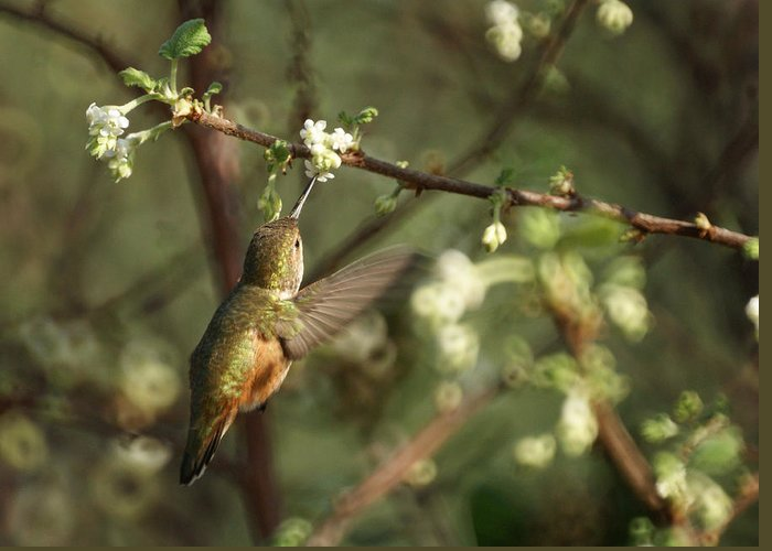 Hummingbird Greeting Card featuring the photograph Hummingbird by Ernie Echols