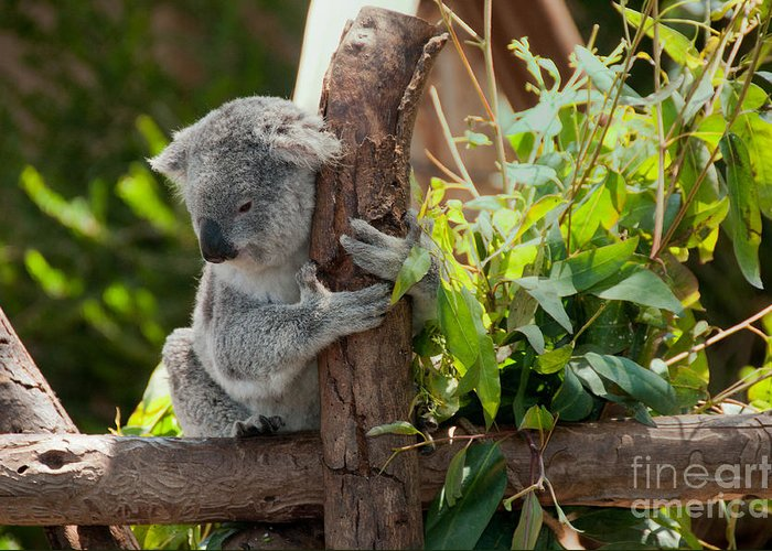 Animals Greeting Card featuring the digital art Koala by Carol Ailles