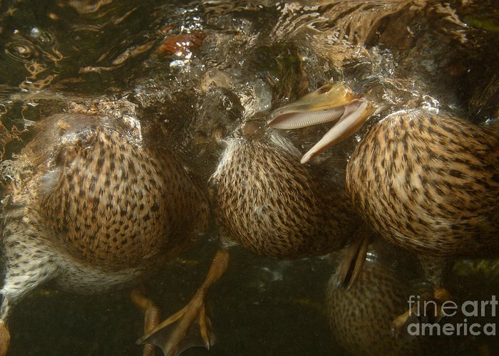 Underwater Greeting Card featuring the photograph Mallard Ducks Underwater by Ted Kinsman