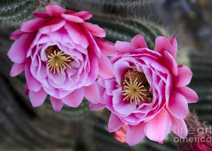 Pink Greeting Card featuring the photograph Pink Cactus Flower by Jim And Emily Bush