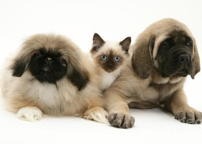 Animal Greeting Card featuring the photograph Puppies And Kitten by Jane Burton