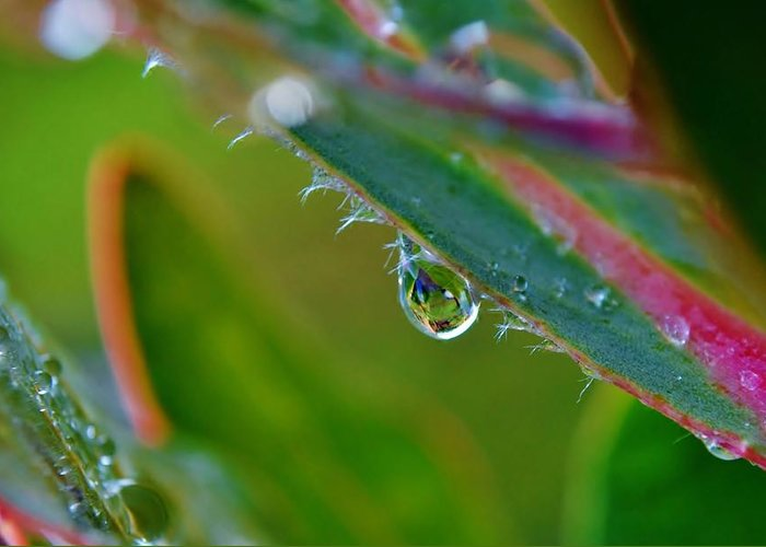 Macro; Image; Rain; Drop; Protea; Leaf; Droplets; Plant; Floral; Flower; Garden; Water; Wet; Reflection; Background; Green; Pink; Decorative; Greeting Card featuring the photograph Rain Drop by Werner Lehmann