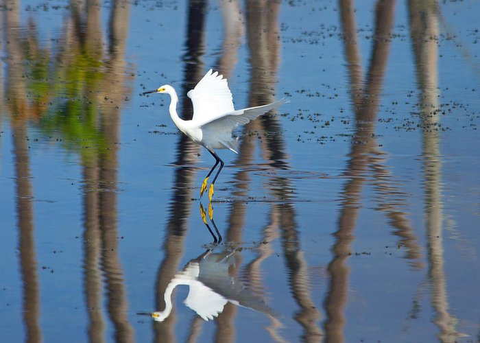 Snowy Egret Greeting Card featuring the photograph Snowy Egret by Wild Expressions Photography