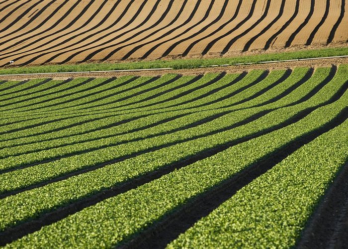 Spinacia Oleracea Greeting Card featuring the photograph Spinach Crop by Adrian Bicker