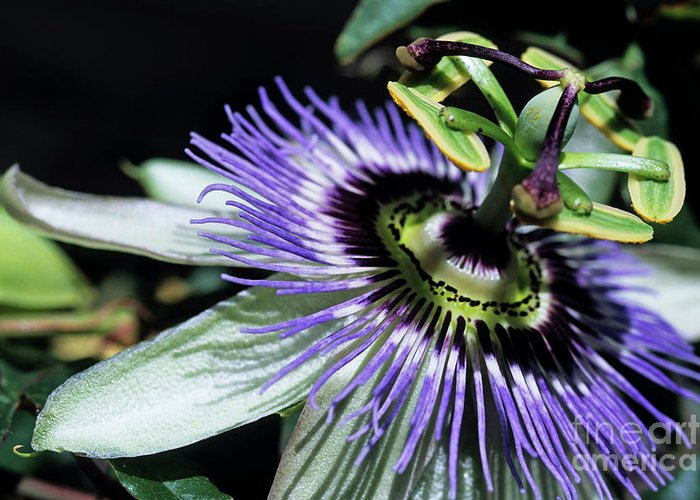 Beautiful Greeting Card featuring the photograph Stamen Of A Passionflower by Sami Sarkis