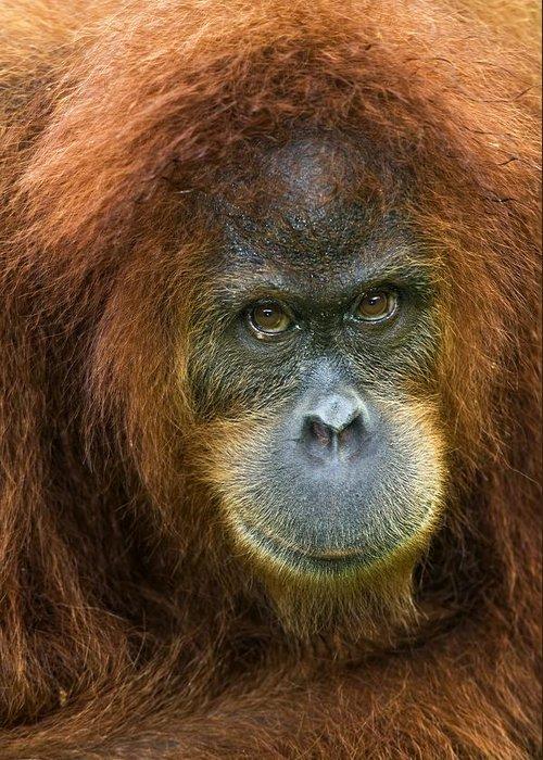 Pongo Abelii Greeting Card featuring the photograph Sumatran Orangutan by Tony Camacho