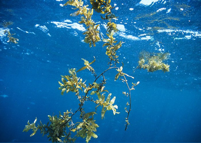 Alga Greeting Card featuring the photograph Tropical Seaweed by Alexis Rosenfeld