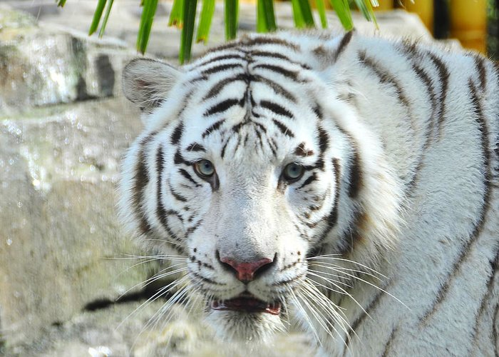 Fine Art Photography Greeting Card featuring the photograph White Tiger by David Lee Thompson