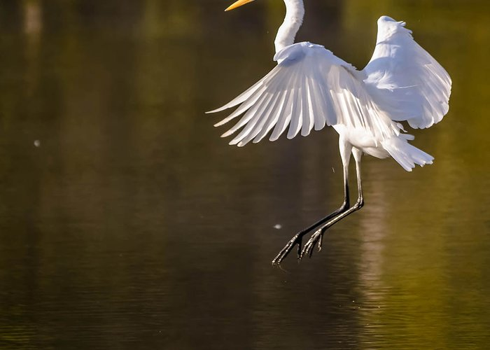 Greeting Card featuring the photograph Egret by Brian Stevens