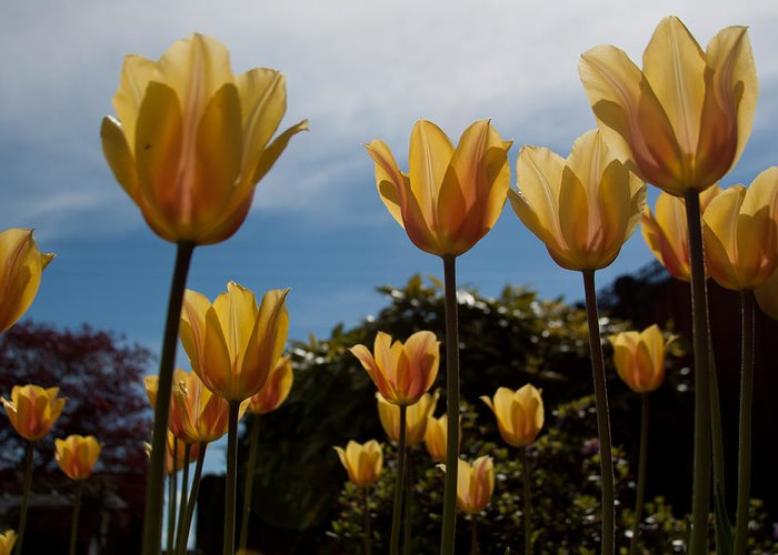 2012 Photographs Greeting Card featuring the photograph 2012 Tulips 06 by Robert Torkomian