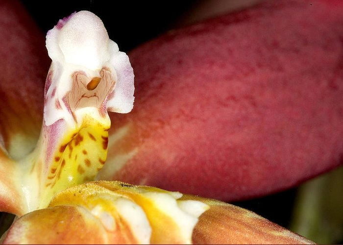 Ribet Greeting Card featuring the photograph Exotic Orchid Flower by C Ribet
