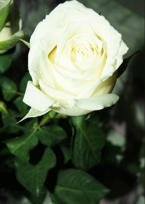 Greeting Card featuring the photograph Rose For You by Gornganogphatchara Kalapun