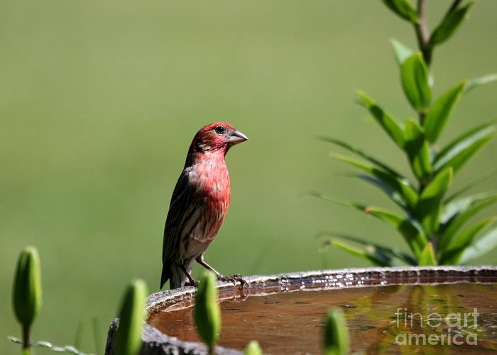 Nature Greeting Card featuring the photograph House Finch by Jack R Brock