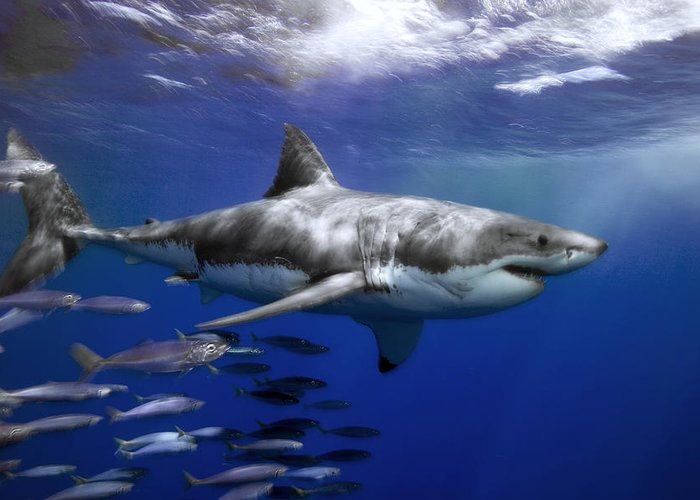 Color Image Greeting Card featuring the photograph A Great White Shark Swims In Clear by Mauricio Handler