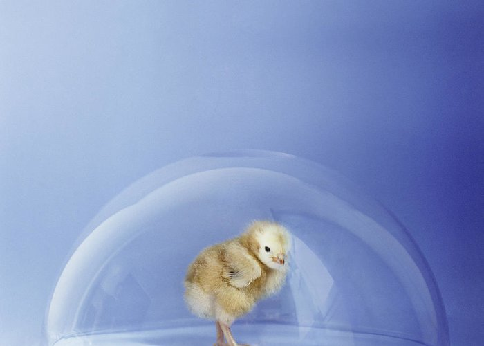 Gallus Domesticus Greeting Card featuring the photograph Bird Flu by Cristina Pedrazzini