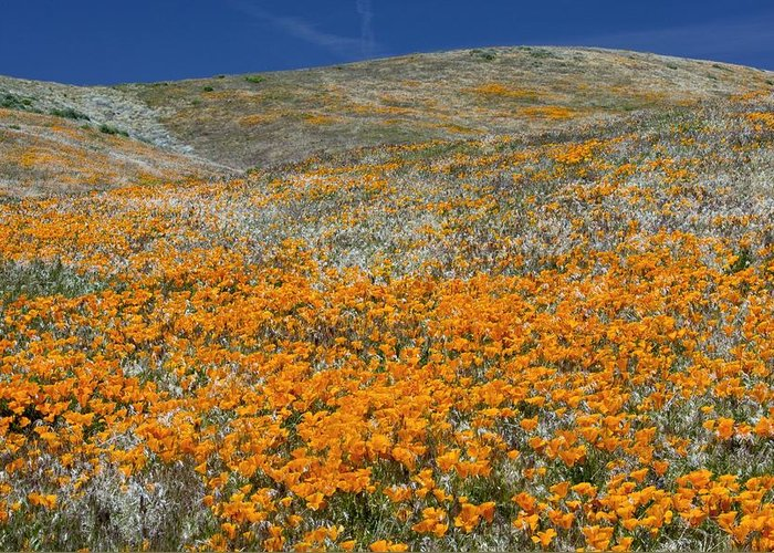 Californian Poppies Greeting Card featuring the photograph Californian Poppies (eschscholzia) by Bob Gibbons