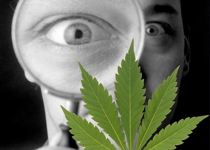 Cannabis Sativa Greeting Card featuring the photograph Cannabis Research by Victor De Schwanberg