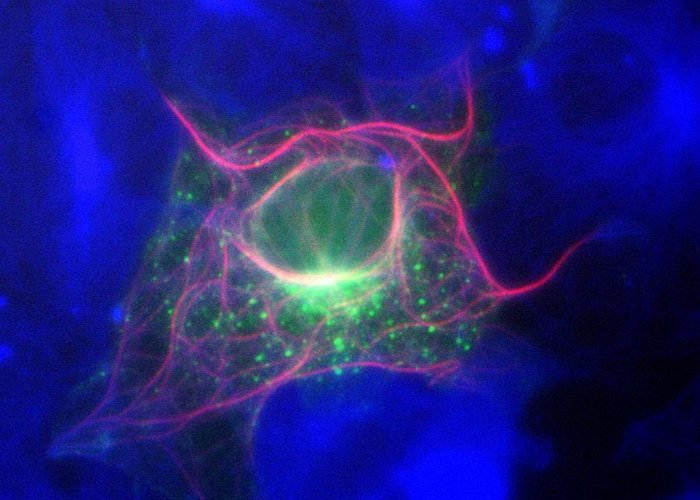 Microtubule Greeting Card featuring the photograph Cell Structure, Fluorescent Micrograph by Robert Mcneil, Baylor College Of Medicine
