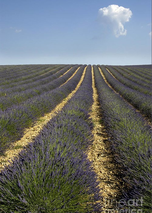 Lavender Greeting Card featuring the photograph Field Of Lavender. Provence by Bernard Jaubert