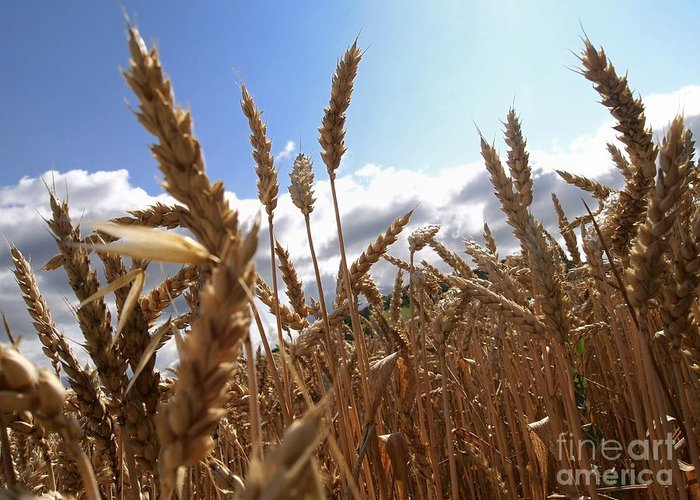 Agriculture Greeting Card featuring the photograph Field Of Wheat by Bernard Jaubert