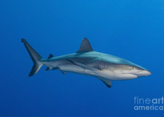 Fish Greeting Card featuring the photograph Gray Reef Shark, Kimbe Bay, Papua New by Steve Jones