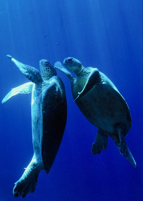 Nature Greeting Card featuring the photograph Green Turtles Mating by Matthew Oldfield