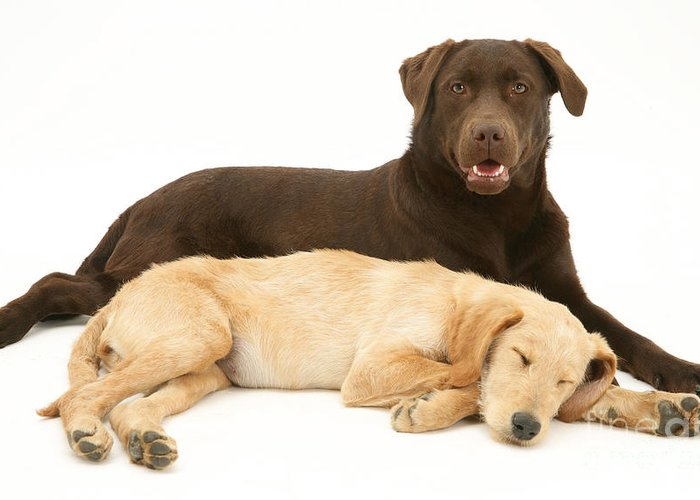 Animal Greeting Card featuring the photograph Labradoodle And Labrador Retriever by Jane Burton