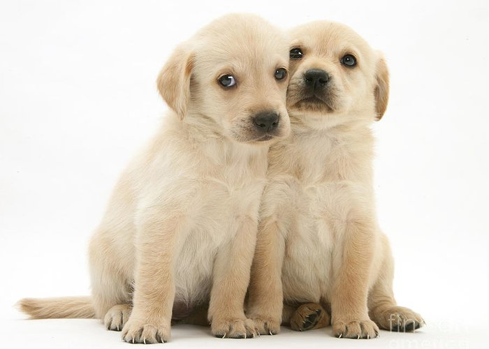 White Background Greeting Card featuring the photograph Labrador Retriever Puppies by Jane Burton