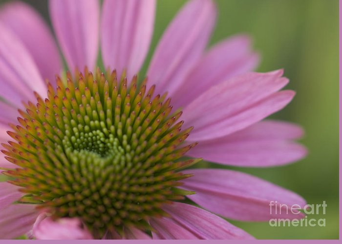 Echinacea Greeting Card featuring the photograph Pretty In Pink by Cheryl Butler