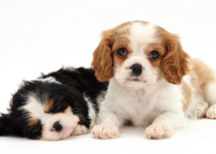 Animal Greeting Card featuring the photograph Puppies by Jane Burton