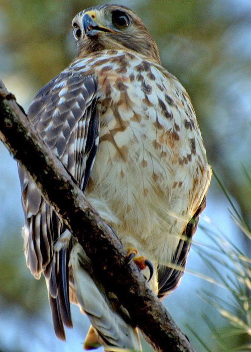 Red Greeting Card featuring the photograph Red Shouldered Hawk by David Brown