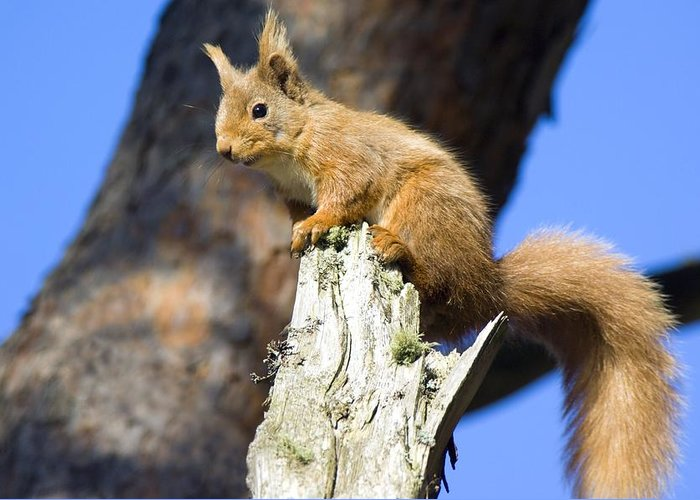 Sciurus Vulgaris Greeting Card featuring the photograph Red Squirrel by Duncan Shaw