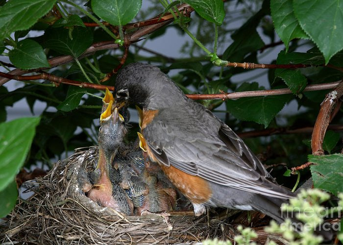 Robin Greeting Card featuring the photograph Robin Feeding Its Young by Ted Kinsman
