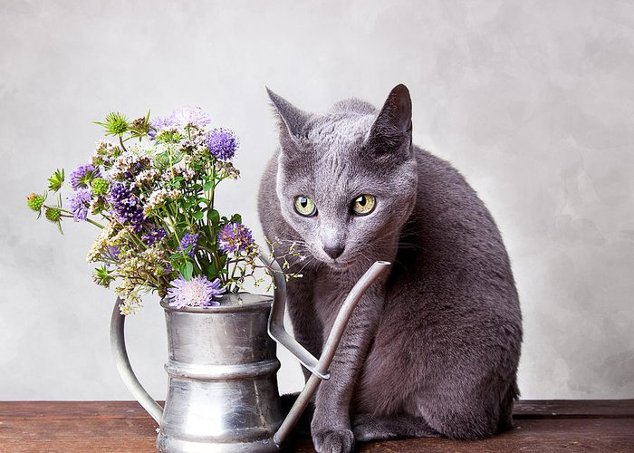 Cat Greeting Card featuring the photograph Russian Blue by Nailia Schwarz