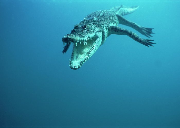 Mp Greeting Card featuring the photograph Saltwater Crocodile Crocodylus Porosus by Mike Parry
