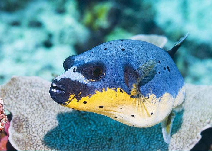 1 Greeting Card featuring the photograph Blackspotted Puffer by Georgette Douwma