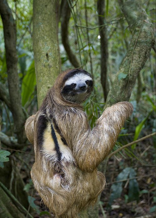 Mp Greeting Card featuring the photograph Brown-throated Three-toed Sloth by Suzi Eszterhas